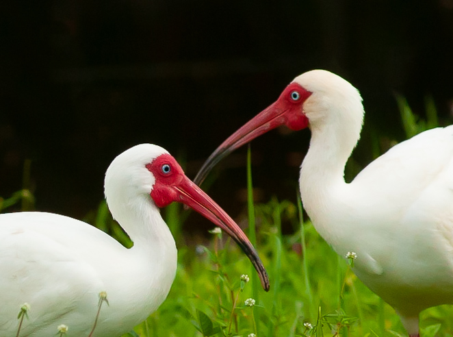 kevin e beasley photography pair of white ibis