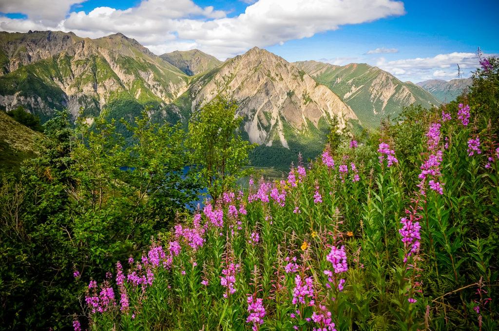 kevin e beasley photographer alaska mountain fireweed