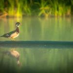 wood duck heritage preserve in opelika alabama