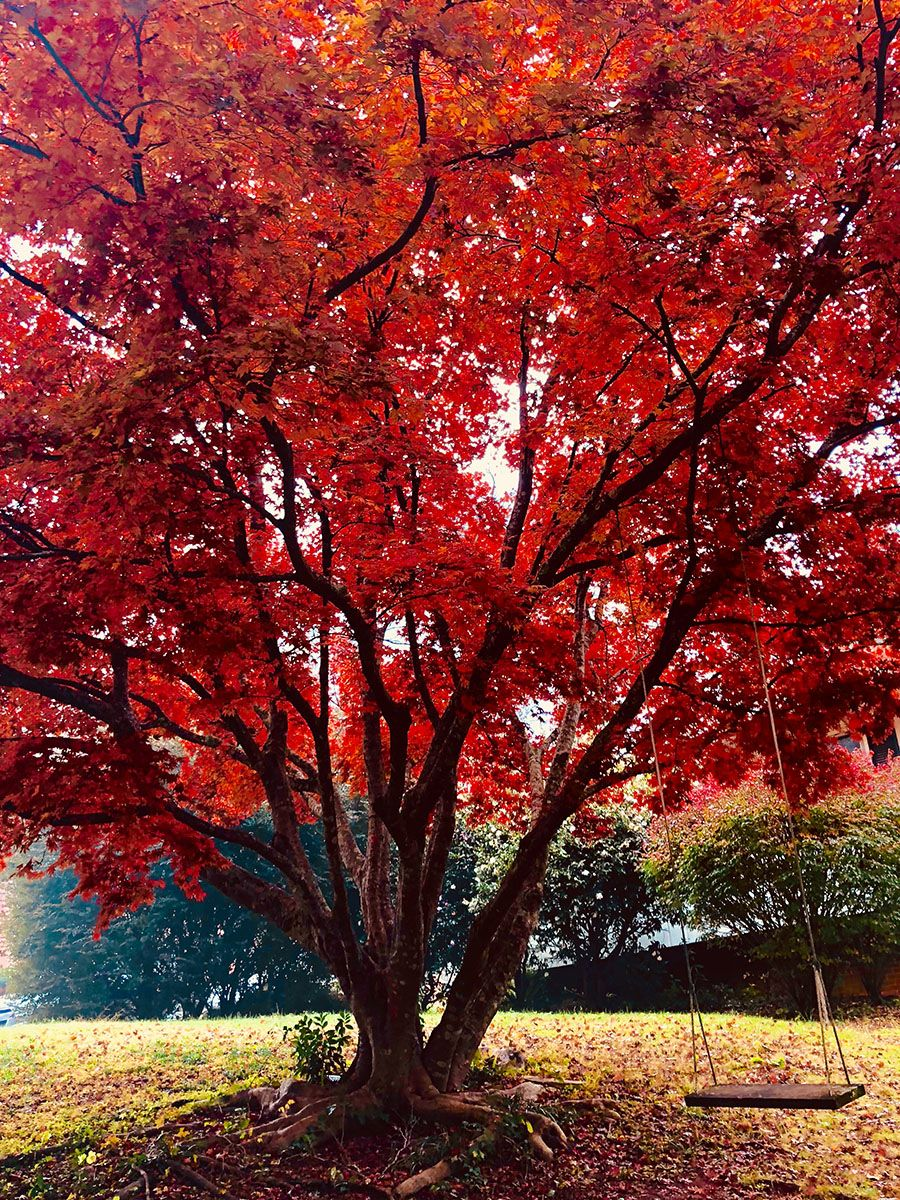 Blazing Red Maple
